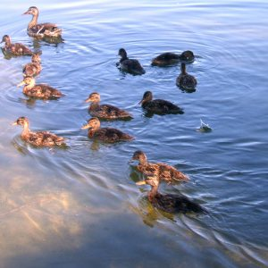 ducks-lake